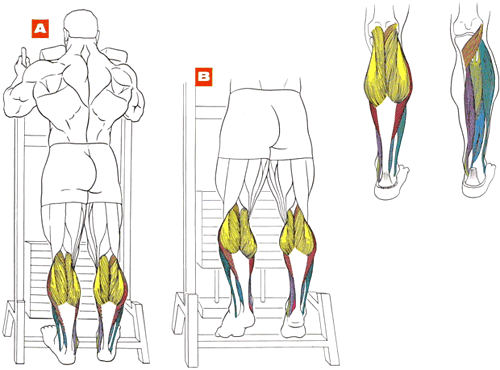 Икроножные мышцы голени